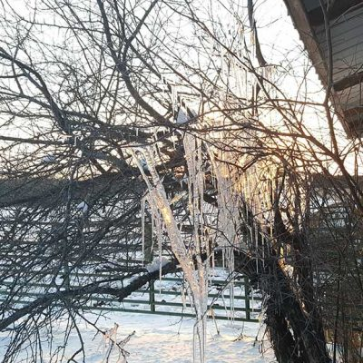 Icicles hanging from the plum tree by the barn
