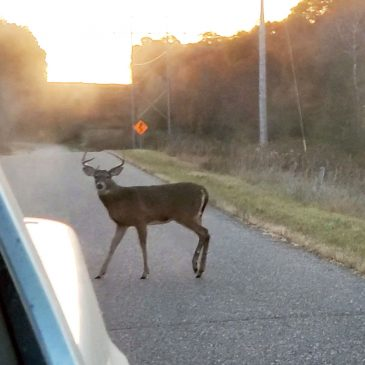 Why Did the Buck Cross the Road?